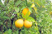 foto of valencia-orange  - Ripe oranges on an orange tree - JPG