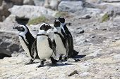 pic of jackass  - Jackass or African Penguins  - JPG