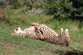 picture of cheetah  - Spinning Cheetah  - JPG