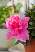 picture of azalea  - blossoming pink azalea among other plants in the greenhouse - JPG