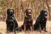 stock photo of labradors  - Three Labrador sitting in a forest