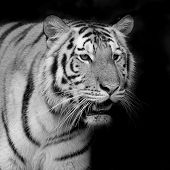pic of sundarbans  - Closeup Tiger animal wildlife on black color background - JPG