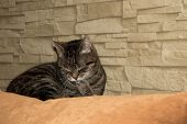 picture of domestic cat  - Domestic cat sleeping on leaning the couch - JPG