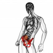stock photo of pelvis  - 3D medical illustration of the pelvis bone - JPG