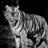 foto of sundarbans  - Closeup Tiger animal wildlife on black background - JPG