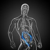 foto of intestines  - Human digestive system large intestine  - JPG