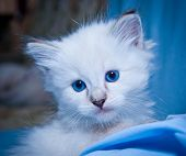 image of gases  - white fluffy kitten with big blue gases - JPG