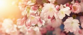 picture of yellow buds  - Wide format closeup of Cherry blossoms with blurred background and warm sunshine - JPG
