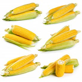picture of sweet-corn  - Set of fresh sweet corn isolated on white background - JPG