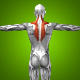 stock photo of triceps brachii  - Concept or conceptual 3D back human anatomy or anatomical and muscle on green gradient background - JPG