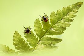 picture of ixodes  - The castor bean tick - JPG