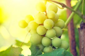 picture of grape  - Bunch of grapes on grapevine growing in vineyard - JPG