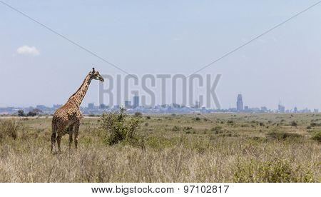 Giraffe in Nairobi National Park with Nairobi skyline in background