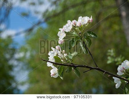 Branch Of Jasmine Flowers On Background Sky