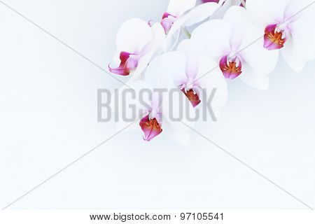 white orchid on light background.