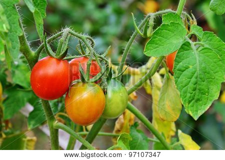 Cherry Tomatoes Ripe And Unripe In The Garden