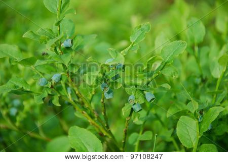 Unripe Blueberries