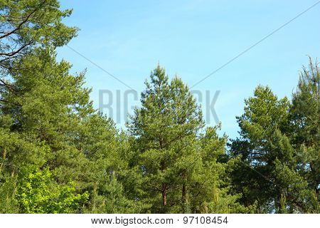 Fir trees in forest over blue sky background