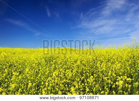 Summer field of yellow flowers