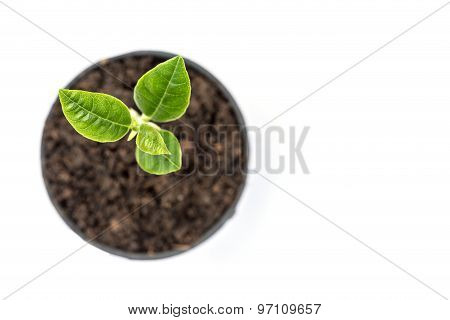 Young Green Plant In Small Black Pot Isolated On White