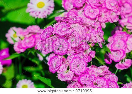 Pink Garden Small Carnation