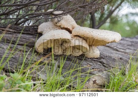 Tree Mushrooms