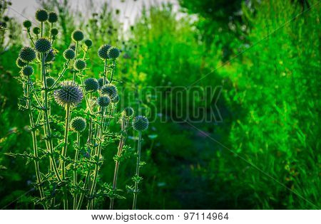 Green Field Prickly Purple Plant