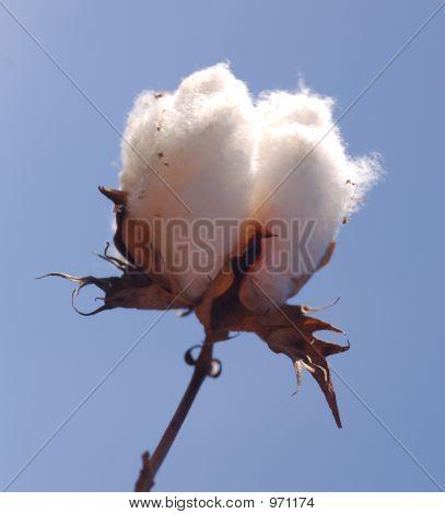 Cotton 1