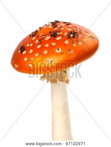 Red Fly-agaric Mushroom With Pieces Of Dirt