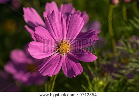Daisy Flower Pink Cosmos