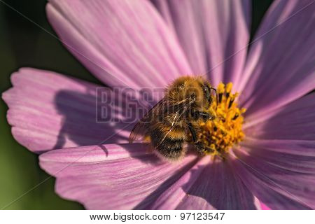 Kosmeya Daisy Flower Bumblebee