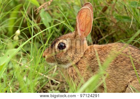 A closeup of a wild rabbit sits surrounded by green grass.