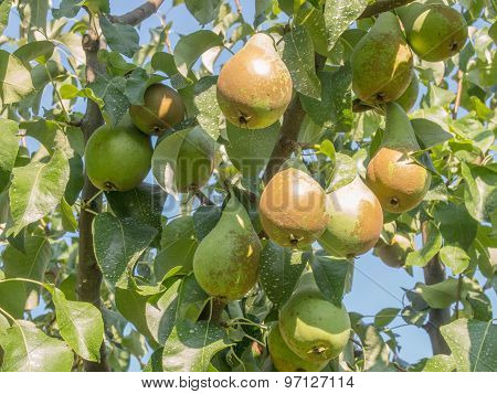 bunch of pears on a branch