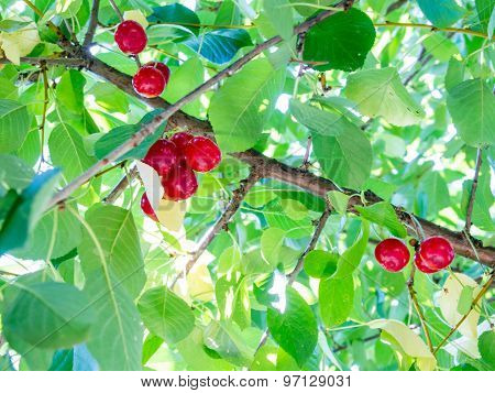 sour cherries on a branch