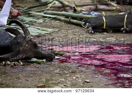 Face Close Up Of A Killed Buffalo
