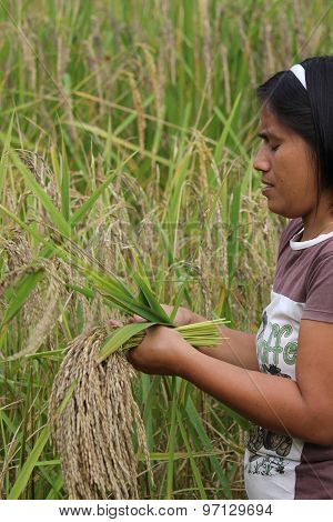 Farmer Manually Pick Up Rice