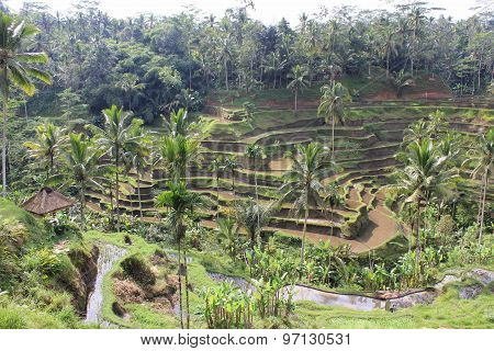 Traditional Shaped Paddy Field