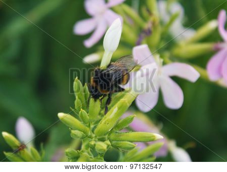 Bee Pollinates Flowers Of The Field. Insects
