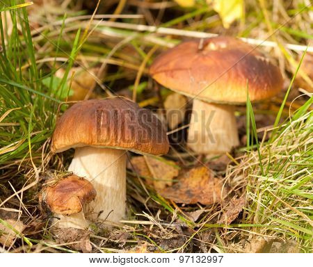 Cep mushrooms in the grass