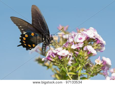 Green Swallowtail butterfly feeding on Phlox flowers against clear blue summer sky