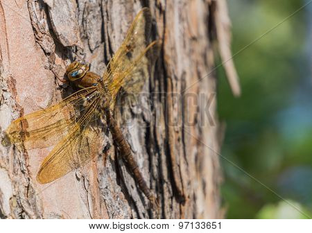 Large Brown Dragonfly