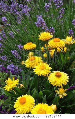 Yellow strawflower