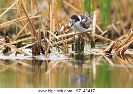 Black Tern Gets Food On The Lake.