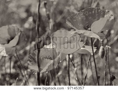 Poppies On A Green Field. In Sepia Toned. Retro Style