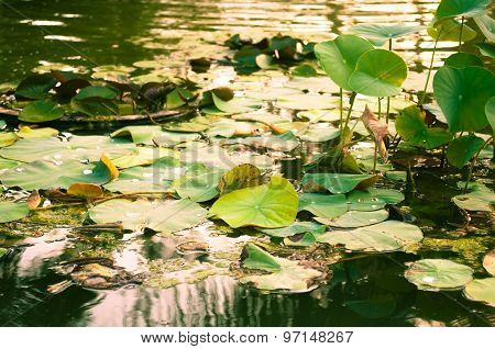 Lotus Pond At Sunset