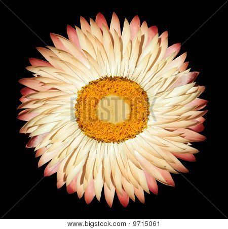 One White Pink Everlasting Flower Isolated On Black Background