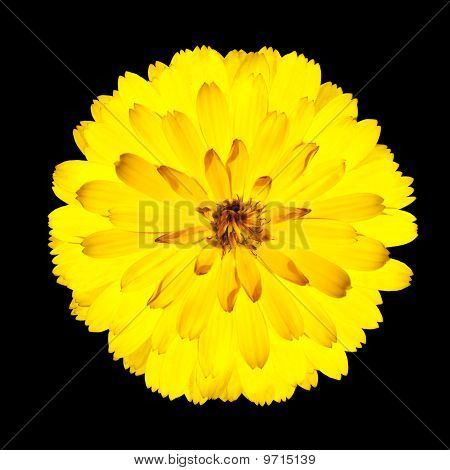 Single Blossoming Yellow Gerbera Flower Isolated On Black