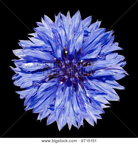 One Blue Cornflower Flower- Centaurea Cyanus Isolated On Black