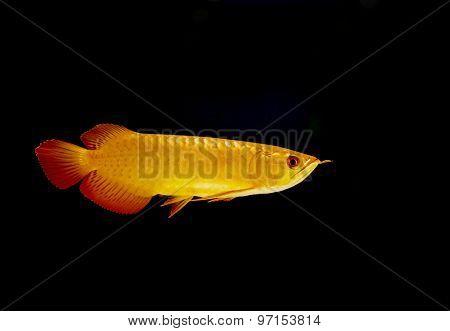 Gold Arowana Fish (scleropages Aureus)
