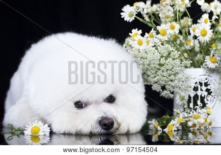 Bichon Frise and chamomile